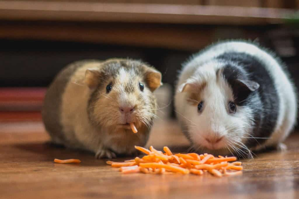 Hamsters eating cheese... talk to them in English